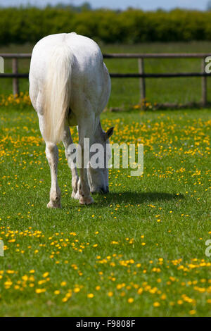 Grey Horse Grazing in a Flower Meadow - Stock Photo