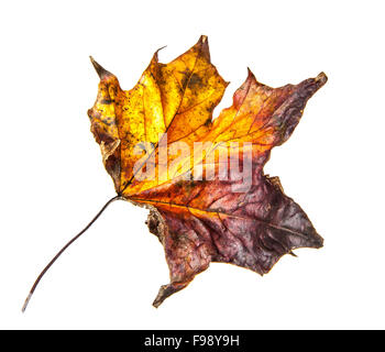 Old dry fallen autumn leaf on white background - Stock Photo