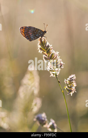 Heath Fritillary butterfly (Mellicta athalia) adult on a grass flower in early morning sunlight. Causse de Gramat, - Stock Photo