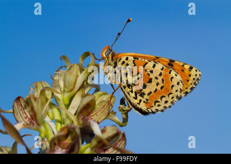 Spotted Fritillary butterfly (Melitaea didyma) adult male roosting on a Lizard Orchid (Himantoglossum hircinum) - Stock Photo