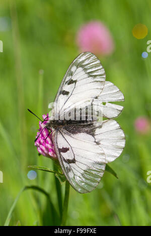 Clouded Apollo butterfly (Parnassius mnemosyne) adult feeding in a meadow. Ariege Pyrenees, France. June. - Stock Photo