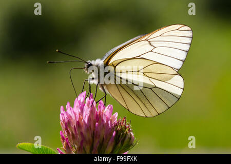 Black-veined White butterfly (Aporia crataegi) adult feeding on Red Clover (Trifolium pratense) in a meadow. Ariege - Stock Photo