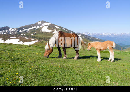 Horse, Comtois, breed reared for meat, mare and foal at the top of the Col de Pailhères, Ariege Pyrenees, France. - Stock Photo