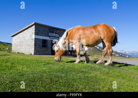 Horse, Comtois, breed reared for meat, mare at the top of the Col de Pailhères, Ariege Pyrenees, France. June. - Stock Photo