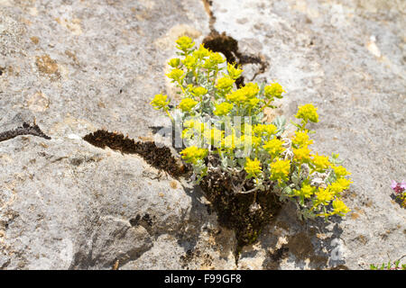 Felty or Gold  Germander (Teucrium polium aureum) flowering. Growing in limestone rock crevice. Ariege Pyrenees, - Stock Photo