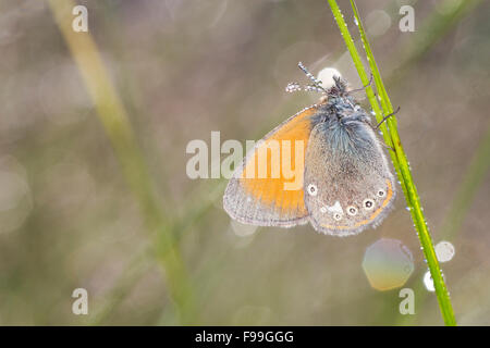 Chestnut Heath (Coenonympha glycerion) adult butterfly amongst grasses on a dewy morning. Aude, French Pyrenees - Stock Photo