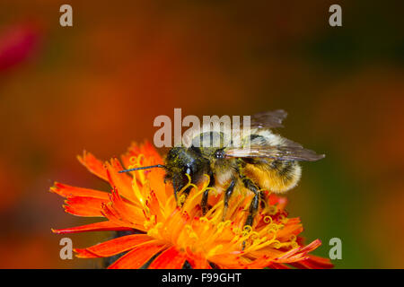 Red Mason Bee (Osmia bicornis) adult female feeding on Orange Hawkweed (Pilosella aurantiaca) flowers. Powys, Wales, - Stock Photo