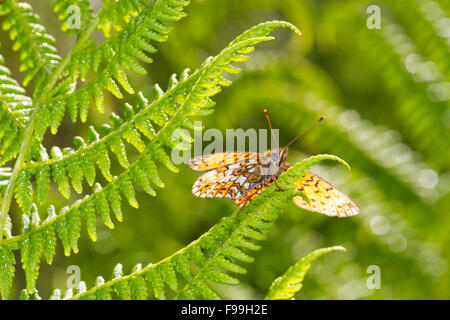 Small Pearl-bordered Fritillary (Boloria selene) underside of an adult butterfly dasking on a fern frond. Powys, - Stock Photo