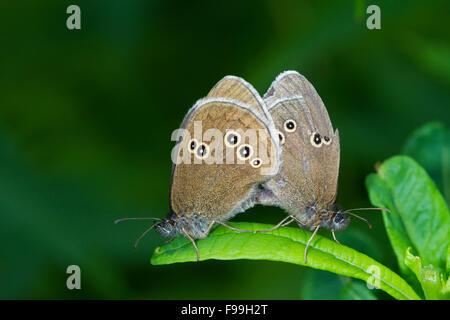 Ringlet (Aphantopus hyperantus) adult butterflies mating. Powys,Wales. July. - Stock Photo