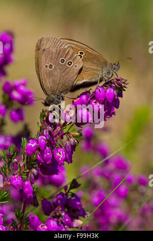 Ringlet (Aphantopus hyperantus) adult butterflies mating on flowering Bell Heather (Erica cineria). Powys, Wales, - Stock Photo