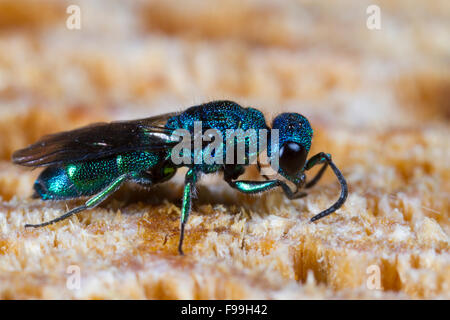 Blue Jewel or Cuckoo Wasp (Trichrysis cyanea) adult female on wood, using antenna to search for nests of host wasps. - Stock Photo
