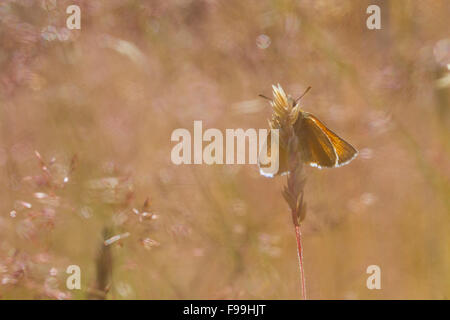 Small Skipper (Thymelicus sylvestris) adult butterfly amongst grasses. Powys, Wales. July. - Stock Photo