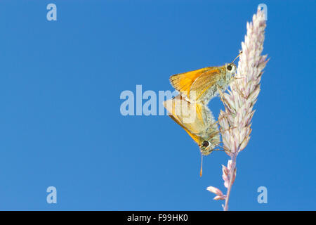 Small Skipper (Thymelicus sylvestris) adult butterflies mating on a grass stalk. Powys, Wales. July. - Stock Photo