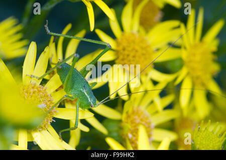 Speckled bush-cricket (Leptophyes punctatissima) large nymph on Common Ragwort (Senecio jacobaea) flowers. Carmarthen, - Stock Photo