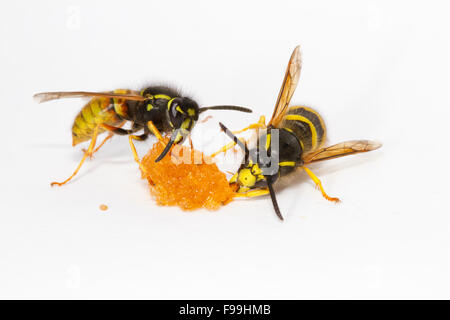 Red Wasp (Vespula rufa) and Tree Wasp (Dolicovespula sylvestris) adult workers feeding on honey against a white - Stock Photo