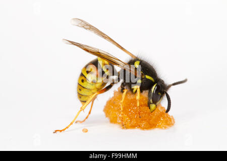 Red Wasp (Vespula rufa) adult worker feeding on honey against a white background. Powys, Wales, August. - Stock Photo