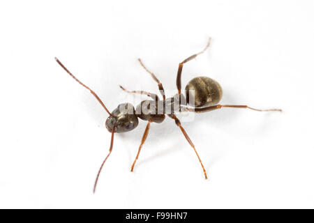 Negro Ant (Formica fusca) adult worker photographed against a white background. Powys, Wales. August. Stock Photo