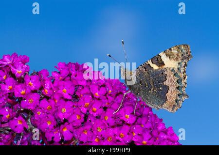 Small Tortoiseshell butterfly (Aglais urticae) adult feeding on Buddleia davidii 'Royal Red' in a garden. Powys, - Stock Photo