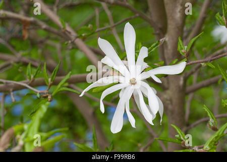 Magnolia, star magnolia, Stern-Magnolie, Sternmagnolie, Magnolia stellata, Magnolie, Magnolien, Magnolienbaum - Stock Photo