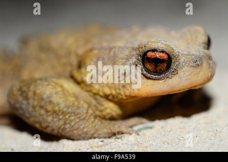 Common toad (Bufo spinosus) in a field near Guadalupe town, Evora province, Alentejo, Portugal - Stock Photo