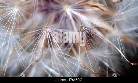 Dandelion Up Close - Stock Photo