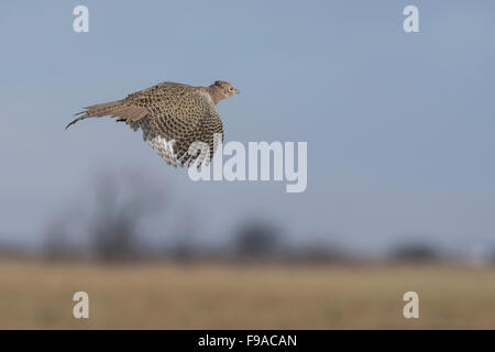 A flying hen pheasant over the North Dakota Prairie - Stock Photo