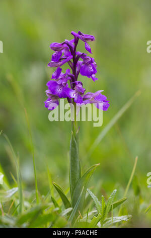 Green-winged Orchid Anacamptis morio, Nottingham - Stock Photo