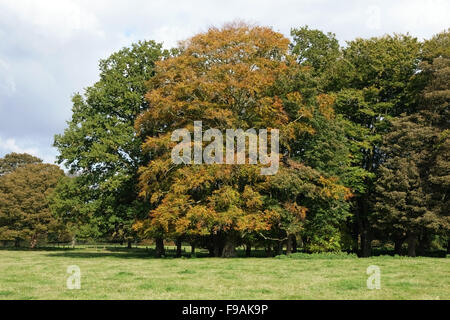 Beech trees in a small group in varying shades of change to autumn colours with other trees on Hungerford Common - Stock Photo