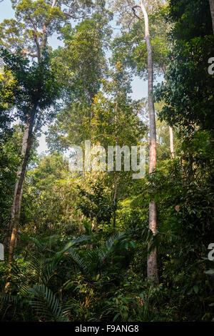 Thicket, trees, jungle, Kuala Tahan, Taman Negara, Malaysia - Stock Photo