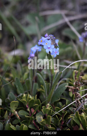 Alpine forget-me-not growing in the Canadian Rockies - Stock Photo
