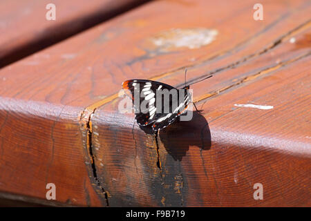 Lorquins admiral at rest on picnic bench Vancouver Island - Stock Photo