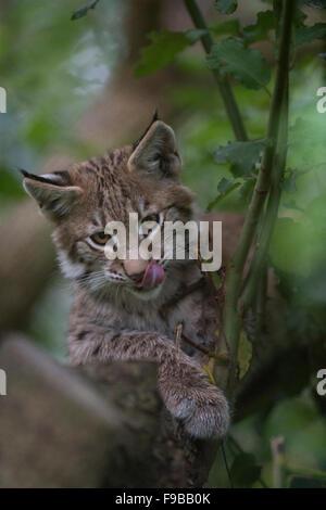 European lynx (Lynx lynx) climbing a tree, captive, Norway ...