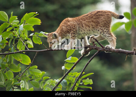 Young Eurasian Lynx / Eurasischer Luchs ( Lynx lynx ) balances skillful on a thin branch. - Stock Photo