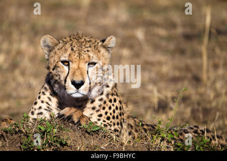 Cheetah with eyes on you. - Stock Photo