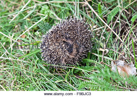 Young European, or Common, hedgehog Erinaceus europaeus curled up in a ball on grass - Stock Photo