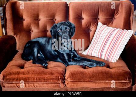 Cute black dog is lying on the sofa - Stock Photo