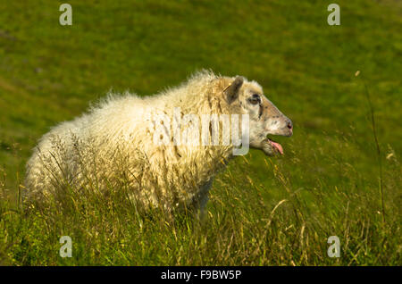 Portrait of icelandic sheep on Nupstadur farm - Stock Photo
