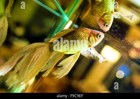 Closeup of a single fantail goldfish swimming in a fish tank - Stock Photo