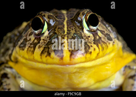 Edible bullfrog (Pyxicephalus edulis) - Stock Photo