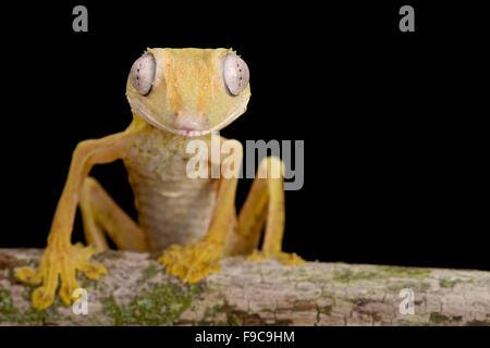 Lined Flat-tail Gecko (Uroplatus lineatus) - Stock Photo
