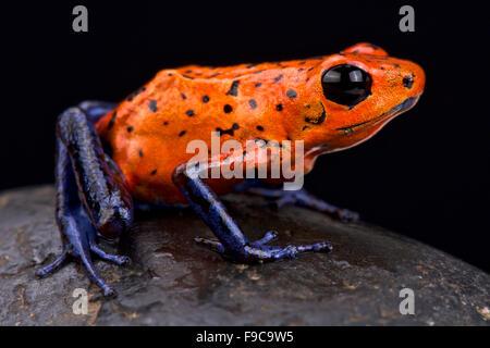 Strawberry dart frog (Oophaga pumilio) - Stock Photo