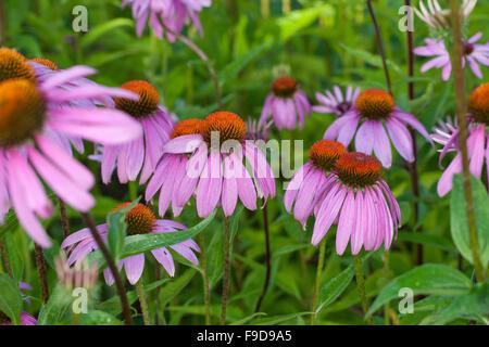 Purple Cone Flower, coneflower, Roter Sonnenhut, Purpur-Sonnenhut, Echinacea purpurea, Rudbeckia purpurea, Brauneria - Stock Photo