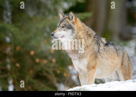 Adult Eurasian wolf (Canis lupus lupus) looking up and standing in the snow, Bayerische wald, Germany - Stock Photo