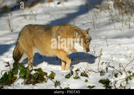 Adult Eurasian wolf (Canis lupus lupus) walking in the forest in snow, looking at camera, Bayerische wald, Germany - Stock Photo