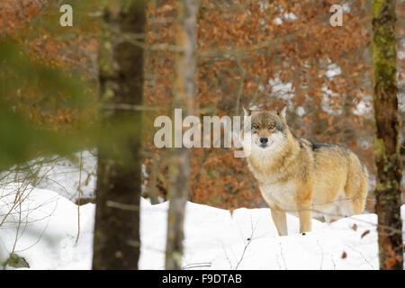 Adult Eurasian wolf (Canis lupus lupus) looking at the camera through the trees and standing in the snow, Germany - Stock Photo
