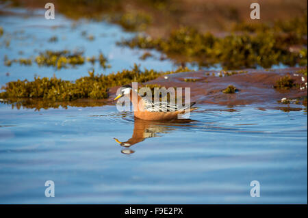 A Red Phalarope aka Grey Phalarope (Phalaropus fulicarius) during summe breeding season in the fjords of Spitsbergen, - Stock Photo