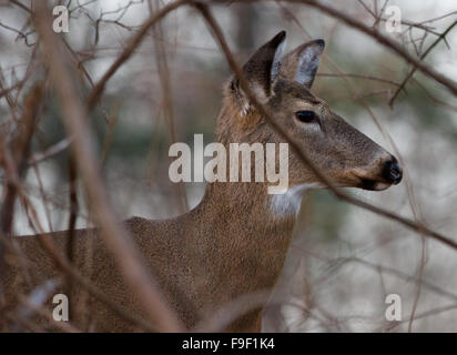 Image with the beautiful wide awake deer in the shrub - Stock Photo