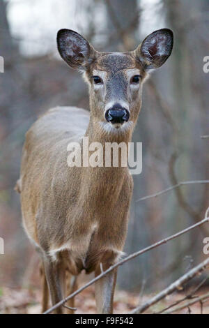 Wide awake beautiful deer with the big eyes - Stock Photo