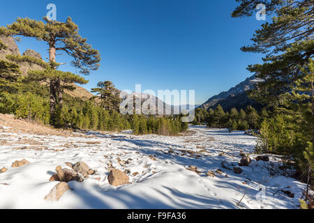View of snow, mountains and pine trees with deep blue sky from Haut Asco in Corsica