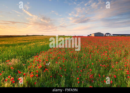 Arable farmland at West Pentire, Cornwall - Stock Photo